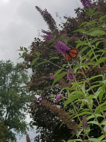 Flower Growth Fragility Nature Petal Freshness Beauty In Nature Purple Plant Day Outdoors Flower Head Green Color No People Leaf Tree Low Angle View Blooming Sky Close-up Pennsylvania Butterfly Insect Monarch Butterfly The Great Outdoors - 2018 EyeEm Awards