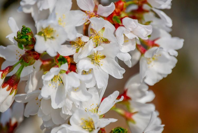 Japanese Cherry Blossom EyeEmNewHere Flower Fragility Beauty In Nature White Color No People Nature Petal Close-up Freshness Springtime Growth Day Flower Head Outdoors