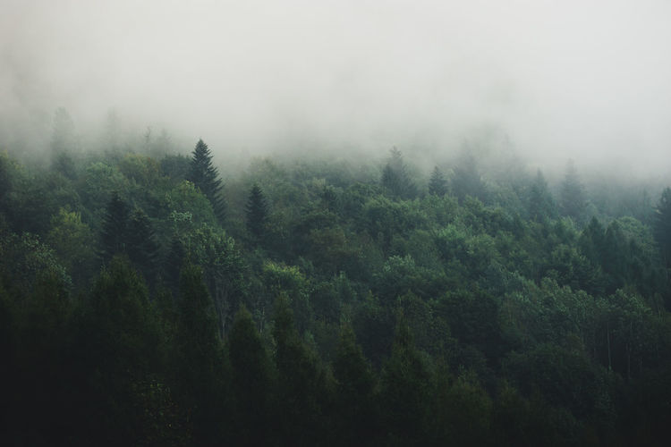 Misty Morning Beauty In Nature Day Environment Evergreen Tree Fog Foliage Forest Green Color Growth Land Mist Misty Morning Nature No People Non-urban Scene Outdoors Pine Tree Pine Woodland Plant Scenics - Nature Tranquility Tree WoodLand