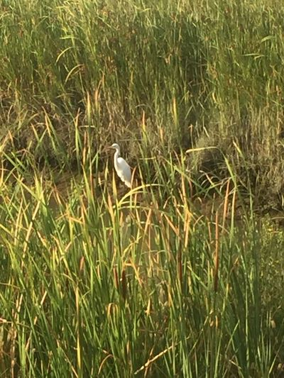 Wading looking for fish. Heron in the reeds