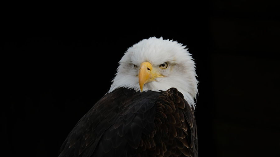 Animal Themes Animal Wildlife Bird Black Background Eagle Eagle - Bird Nature One Animal Outdoors