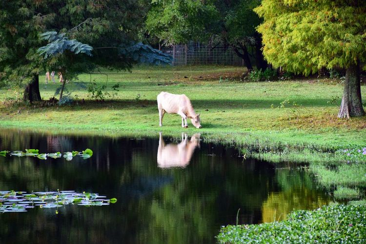 Cow Enjoying Fresh Green Grass Next to the Lake Fieldtrip with Kids Awesome Nature Water Water Reflection Beautiful Landscape Epic Earth Epicearthco P7taylor