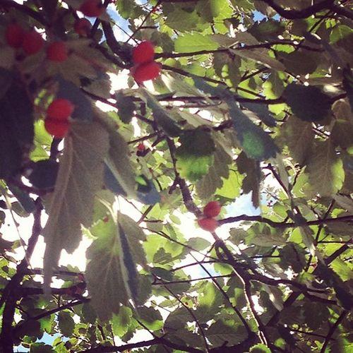 Rowanberries. Autumn Evolutionsbiologisktcentrum EBC Uppsalauniversitet universityofuppsala norbyvägen uppsala tiundaland uppland sverige sweden picoftheday tagsforlikes leaf leaves rowan rowanberries instaautumn instaleaf instaleaves instafollow mittuppsala mittuniversitet