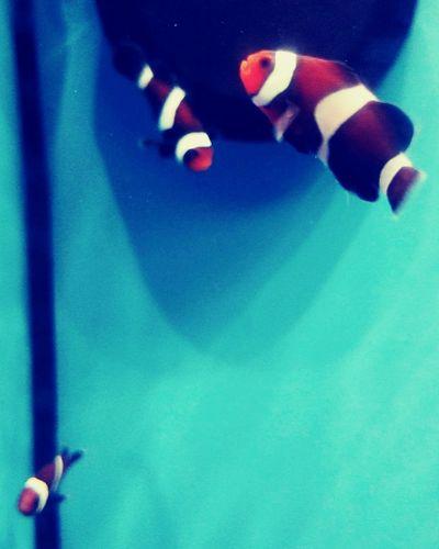 Clown Fish & Friends Close-up Indoors