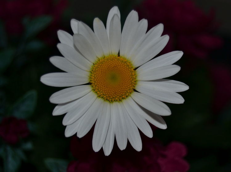 Beauty In Nature Flower Collection Beauty In The Darkness Blooming Camomile Close-up Daisy Day Flower Flower Head Flowers Focus On Foreground Fragility Freshness Growth Nature Nature_collection Nature Photography Nikon No People Petal Plant Pollen White Yellow