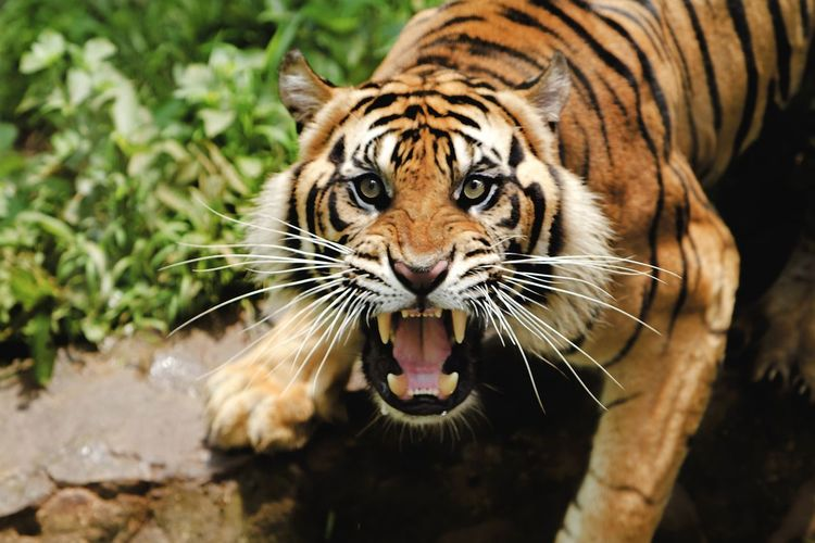 High angle portrait of tiger roaring while standing in forest
