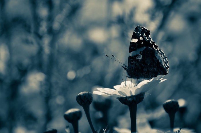 Vanessa Atalanta Pollination Drastic Edit Dramatic Lighting Sardinia Black And White Monochrome Blackandwhite Blancoynegro Exploring Exceptional Photographs Explore EyeEm Nature Lover Butterfly EyeEm EyeEmNewHere EyeEm Best Shots EyeEm Selects Animals In The Wild Animal Wildlife Animal Themes No People One Animal Focus On Foreground Day Outdoors Close-up Butterfly - Insect Nature