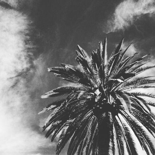 Nature San Diego California Trees Showcase: February Palm Trees Palm Tree Outdoor Photography Blackandwhite Vintage