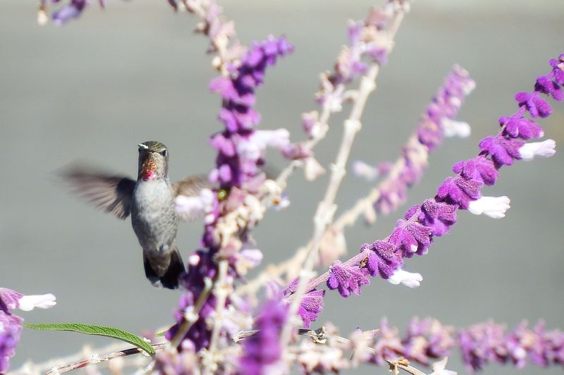 Hummingbird Flying By Purple Flowers