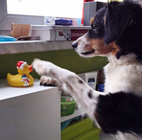 During these extremely hot days, Billy prefers to stay at home and play with my squeaky duck rather than go for a walk. Summer Dogs My Dog Dog Love Dogs Dog I Love My Dog Dogoftheday Pets Corner Cute Pets DogLove