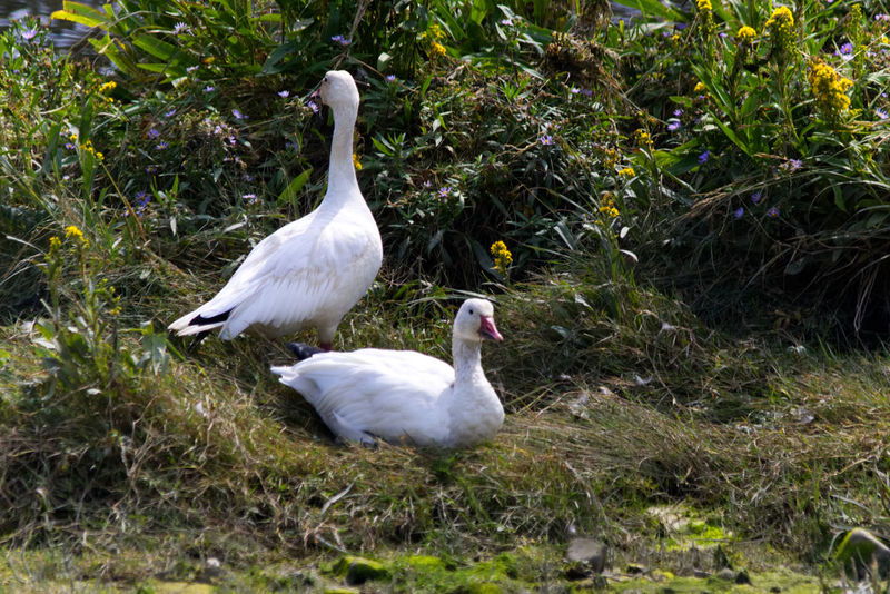 Snow Goose relaxing in high grass Animal Family Animal Themes Animal Wildlife Animals In The Wild Beauty In Nature Bird Day Goose Grass Growth Nature No People Outdoors Snow Goose Togetherness Water White Color White Goose Young Animal