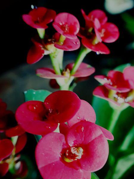 Euphorbia millii Flower Head Flower Red Petal Pink Color Close-up Plant In Bloom Dew Plant Life Botany Focus
