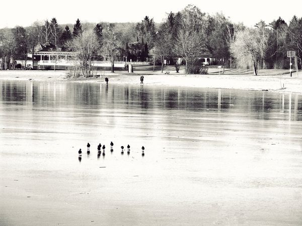 Flock Of Birds Birds People Walking On Ice Frozen Lake Animals In The Wild Lakeshore Lakeside Cold Winter Day Sunny Day☀ winterbeach Nature Animal Wildlife Reflection Bare Trees Trees Kinzigsee Langenselbold Germany🇩🇪 Black And White /sepia Black And White Live For The Story The Great Outdoors - 2017 EyeEm Awards The Great Outdoors - 2018 EyeEm Awards