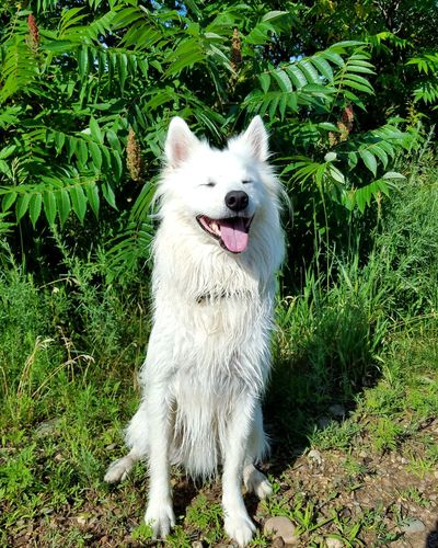 Dog Pets Domestic Animals One Animal Animal Themes Outdoors Day Green Color Grass Sitting Mammal No People Cheerful Nature Summertime Freshness Plant Nature Dogs Of EyeEm Dogoftheday Doglover American Eskimo Sommergefühle EyeEm Selects Let's Go. Together. Pet Portraits