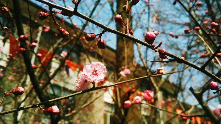 Peach blossom in my university.🌸🌼💮🏵🌺🌹 Peach Blossom Spring Flowers Springtime University Campus Photography