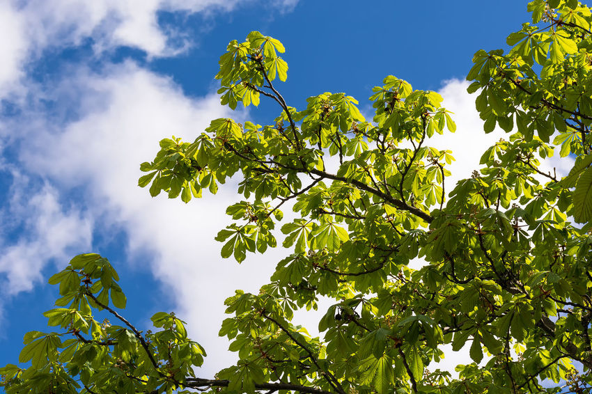 Fresh green. Chestnut Leaves Chestnut Freshness Green Green Leaves Contrast Blue Sky Sky And Clouds Spring Fresh Green Leaves Happy Mood  Leaves Looking Up Heads Up Tree Low Angle View Green Color Beauty In Nature Tranquility Outdoors Sunlight No People Branch Day Warm