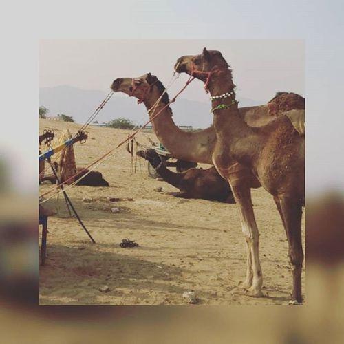 Camel Unfiltered Photo Pushkar Noon Time Camel Ride Proper Ruler Fair Excited Moretocome