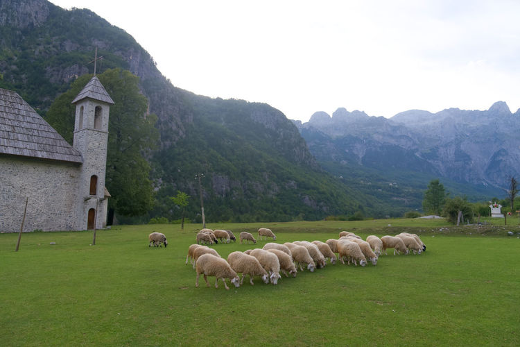 View of sheep on grassy field against mountains