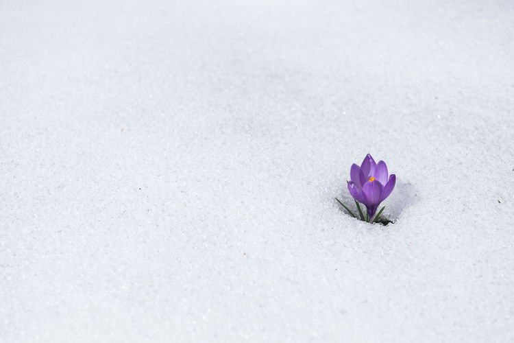 High angle view of purple crocus flower blooming on snow covered field