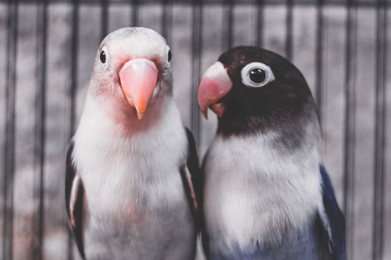 Lovebird Bird Group Of Animals Animal Animal Themes Vertebrate Two Animals Animal Wildlife Animals In The Wild Close-up Focus On Foreground No People Beak Cage Day Animals In Captivity Parrot Birdcage Nature Togetherness Animal Family Mouth Open