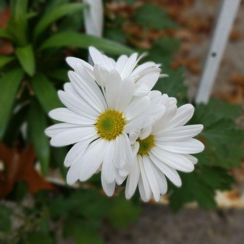 Flower Head Flower Petal White Color Close-up Plant