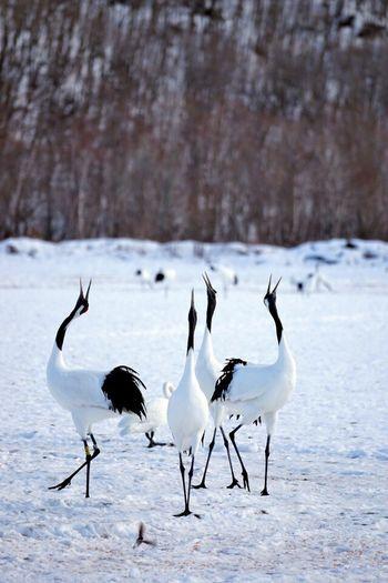 Japanese cranes 丹頂鶴 Crane Hokkaido,Japan Nature 北海道 Winter EyeEm Nature Lover