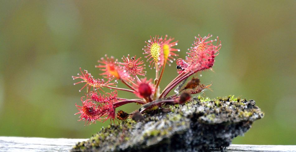 Zonnedauw 3e (mooiste?) Sundew Nature Insect Day Beauty In Nature Close-up Growth No People Outdoors Sundew Sonnentau Zonnedauw Drosera EyeEm Nature Lover Nature Photography Beauty In Nature Low Angle View Eye4photography  Nature On Your Doorstep Red Gelderland Plant Red Flower Fragility Freshness