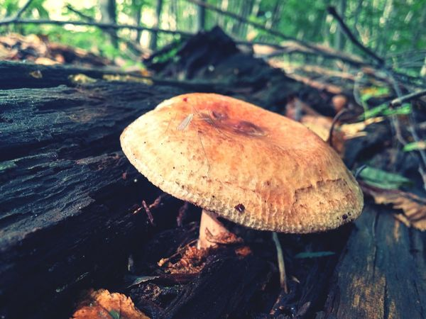 Wild Mushroom Mushroom Forest Fungus Close-up Toadstool Growth Tree Trunk WoodLand Nature Tranquility Day Focus On Foreground Outdoors Wilderness Growing Beauty In Nature Fragility Non-urban Scene No People Tranquil Scene