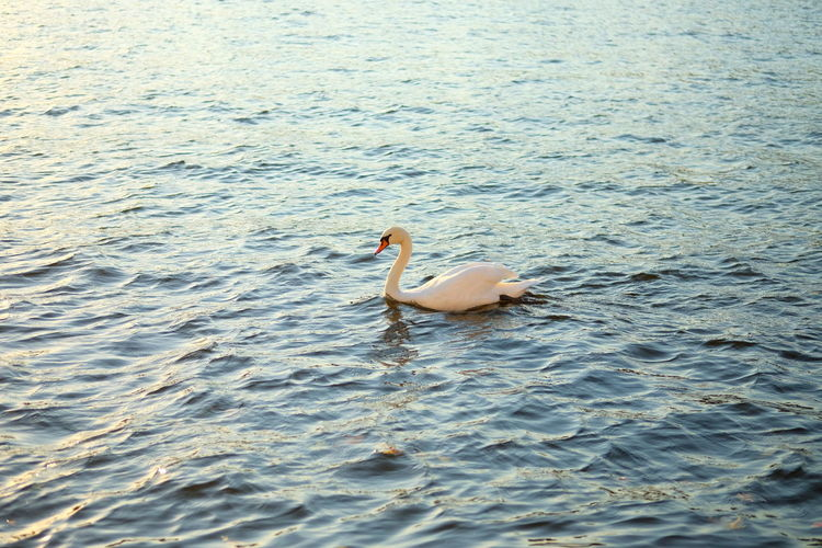 Water Animal Themes Animal Wildlife Animal Animals In The Wild Vertebrate Bird One Animal Swimming Waterfront Sea Day No People Nature Rippled Beauty In Nature Swan High Angle View Floating On Water