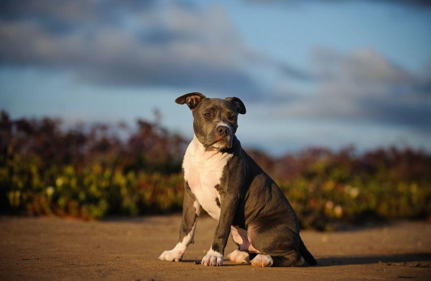 American Pit Bull Terrier dog American Pit Bull Terrier Apbt Breed Specific Legistlation, Day Dog Dog, Pit Pit Bull Pitbull
