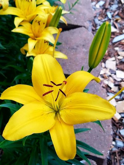 Lilies Flowers Yellow Lillies Garden Photography Garden Flowers Detail Flower Head Flower Yellow Petal Close-up Plant Blooming Lily Plant Life EyeEmNewHere