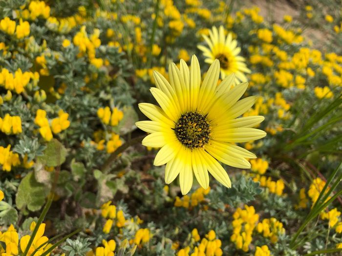 Flower in Castelldefels Chamomile Chamomile Flowers Spring Fragility Plant Flower Head Nature No People Outdoors Close-up Beauty In Nature
