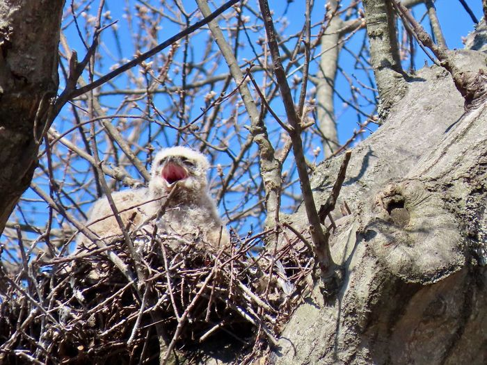 Baby owl owlet beak open birds nest tree trunk bare branches birds of prey beauty in nature outdoors Nature Low Angle View Outdoors No People