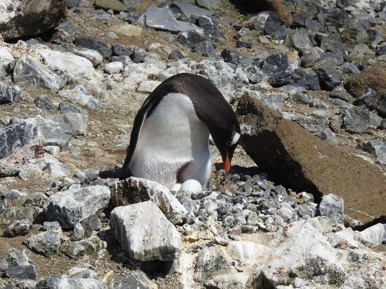 Gentoo penguin with eggs at Brown Bluff, Antarctic peninsula Animal Themes Animal Wildlife Animals In The Wild Antarctic Peninsula Bird Bird Eggs Bird Watching Gentoo Penguin Gentoo Penguin Chick Gentoo Penguins Nature Nesting Birds No People Penguin
