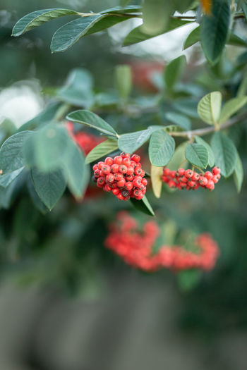 Growth Leaf Plant Part Plant Red Freshness Berry Fruit Beauty In Nature Fruit Close-up Day Selective Focus Food And Drink Nature Healthy Eating Food No People Flower Green Color Flowering Plant Outdoors Ripe Rowanberry
