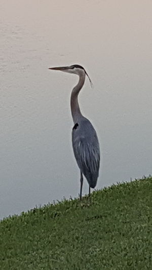 Found this beauty today . Bird Gray Heron Heron Full Length Great Blue Heron Freshwater Bird