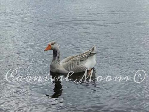Goose Wild Auburn, Maine Maine 207 04210 Androscoggin River River Summer Bird