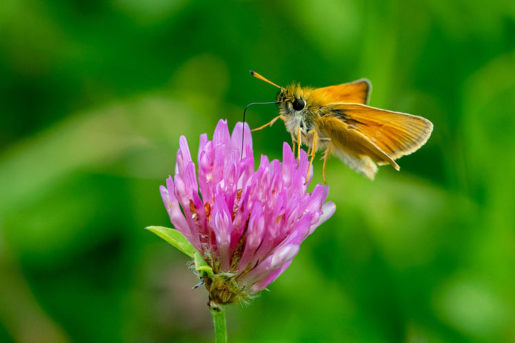 Essex skipper butterfly, thymelicus lineola, ends of antenna black in colour, feeding of wild clover