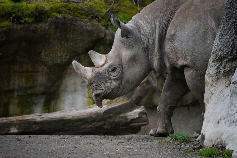 Animal Animals In The Wild Rhinoceros No People Mammal One Animal Safari Animals Outdoors Nature Day Zoo Animals In Captivity Mammals Animals Zoo Animals  Animal Themes Animal Photography Walking Around Nature Beauty In Nature Zoo Animals  Animal_collection Animal Head