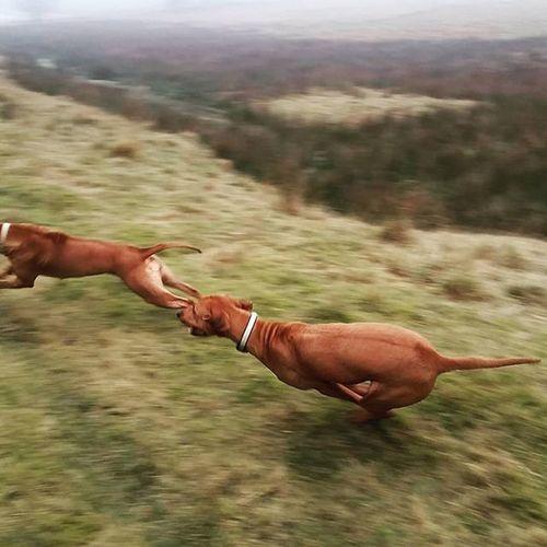 Die wilde Jagd Teil 2 😊 Ridgeback Rhodesian Instadogs Liondog Löwenhund Rhodesianridgeback Joy Ohana Picoftheday Projectrr Rr Dog Hund Prinzessin Jagd Hunt Love Sweet Süss Action Aktion
