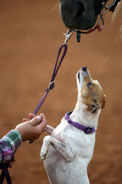 A Jack Russell terrier reaches up on his hind legs to reach a horses mouth. Animal Themes Close-up Dog Domestic Animals Horse Human Hand Jack Russell Kiss Love Mammal Outdoors Pets Rural Rural Living Standing