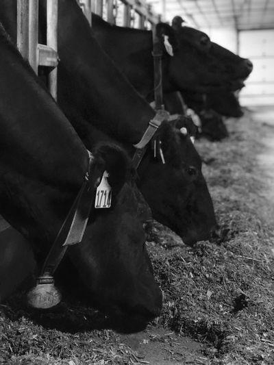 Barn Dairy Cows