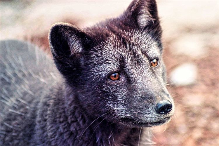 Photooftheday Wild Animals Up Close Animal Themes Wild Animal Photography Lagopus Vulpes Lagopus Fox Ræv Polarræv EyeEm Selects One Animal Animal Wildlife Close-up Mammal Animals In The Wild Outdoors Portrait No People Day Looking At Camera Animal Themes Nature