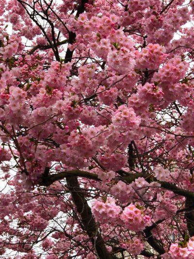 Frühling Flower