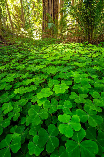 The forest near Carlotta, California. Sorrel Redwoods Green Color Plant Tree Growth Land Nature Beauty In Nature Tranquility Forest Day Leaf Plant Part No People Tranquil Scene Outdoors Scenics - Nature Sunlight Tree Trunk Foliage Lush Foliage WoodLand Clover Clovers  Cloverleaf