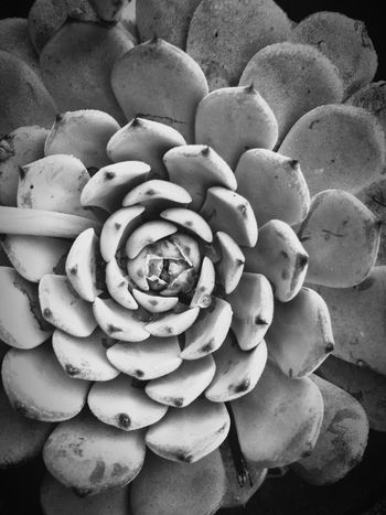No People Fragility Close-up Nature Backgrounds Freshness Food Day Growth Flower Outdoors Flower Head Succulents Succulent Plants Blackandwhite Photography Blackandwhite Perspectives On Nature The Still Life Photographer - 2018 EyeEm Awards