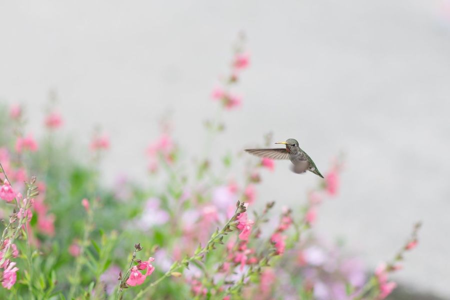 Flowers With Bird Humingbird Flower Flowering Plant Plant Flying Pink Color Nature No People Outdoors Freshness Beauty In Nature