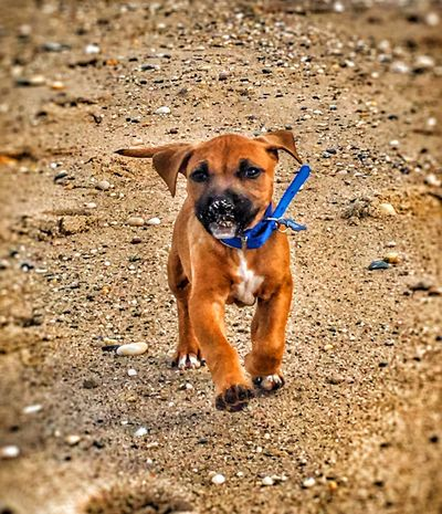 Gangster Dog Domestic Animals Pets Mammal Looking At Camera Maxx Selective Focus IPhoneography