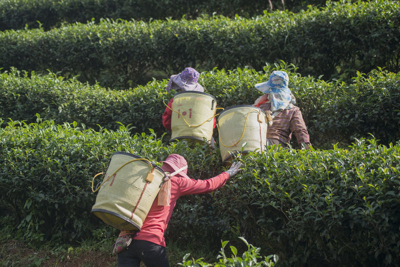 Rear view of people harvesting tea