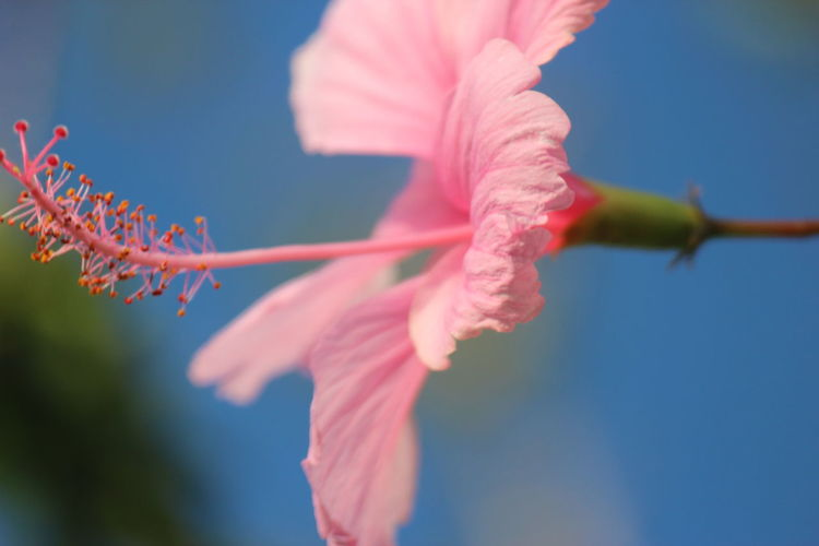 Flowers Hibiscus Flower Hibiscus 🌺 Hibiscus Plant Photography Beauty In Nature Plants Outdoors Nature Pink Flower Pink Millennial Pink